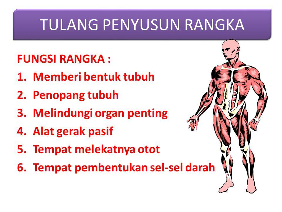 FUNGSI RANGKA : 1.Memberi bentuk tubuh 2.Penopang tubuh 3.Melindungi organ penting 4.Alat gerak pasif 5.Tempat melekatnya otot 6.Tempat pembentukan sel-sel darah TULANG PENYUSUN RANGKA