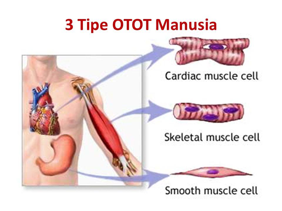 Mengapa Otot Sangat Penting Bagi Tubuhku ???… Menjaga organ penting dalam tubuh agar pada tempatnya.