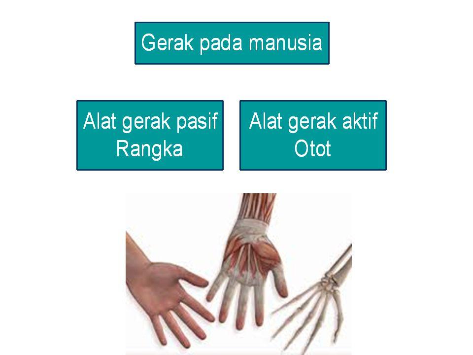 Hubungan antar tulang yang tidak dapat digerakkan sama sekali Contoh pada sambungan antar tulang tengkorak MATI sinartrosis MATI sinartrosis