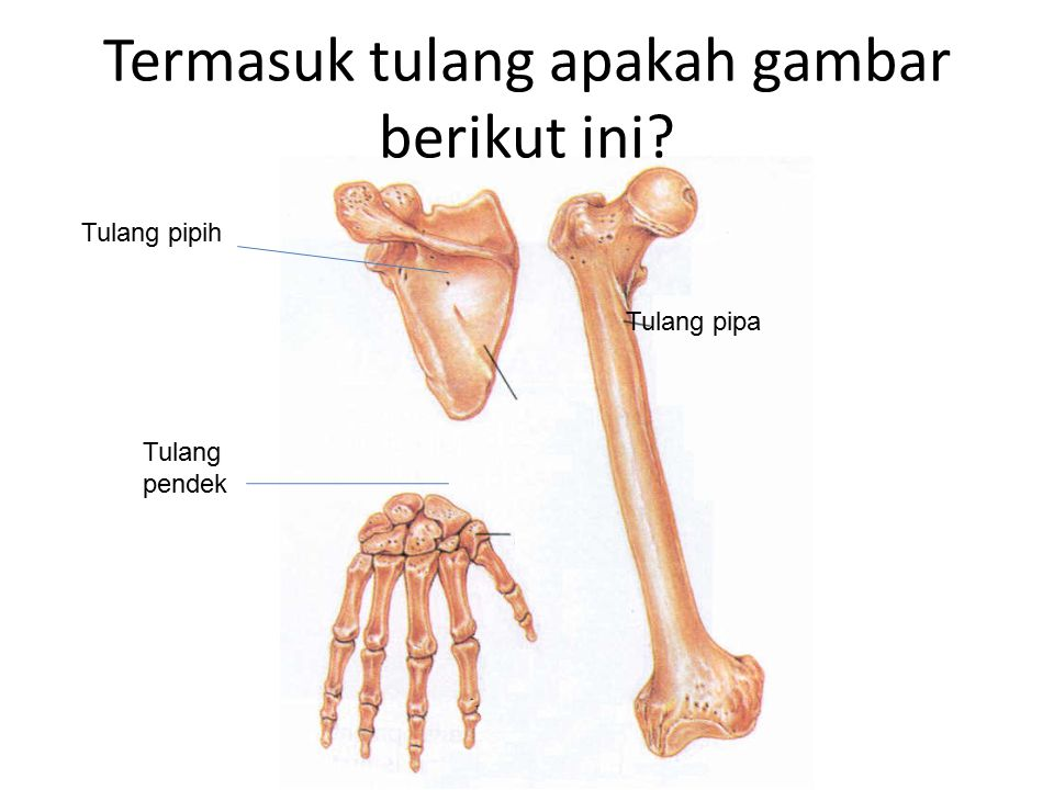 Termasuk tulang apakah gambar berikut ini? Tulang pipa Tulang pipih Tulang pendek