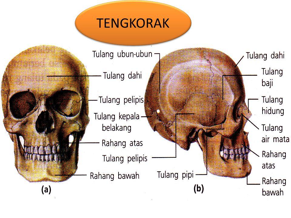 TENGKORAK