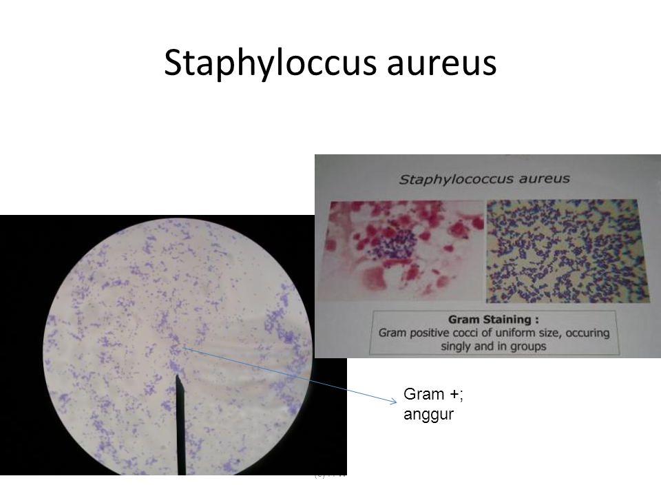 Staphyloccus aureus (c) FFW Gram +; anggur