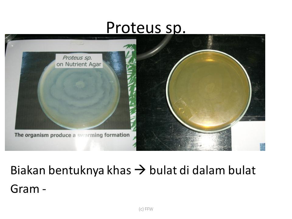 Proteus sp. Biakan bentuknya khas  bulat di dalam bulat Gram - (c) FFW