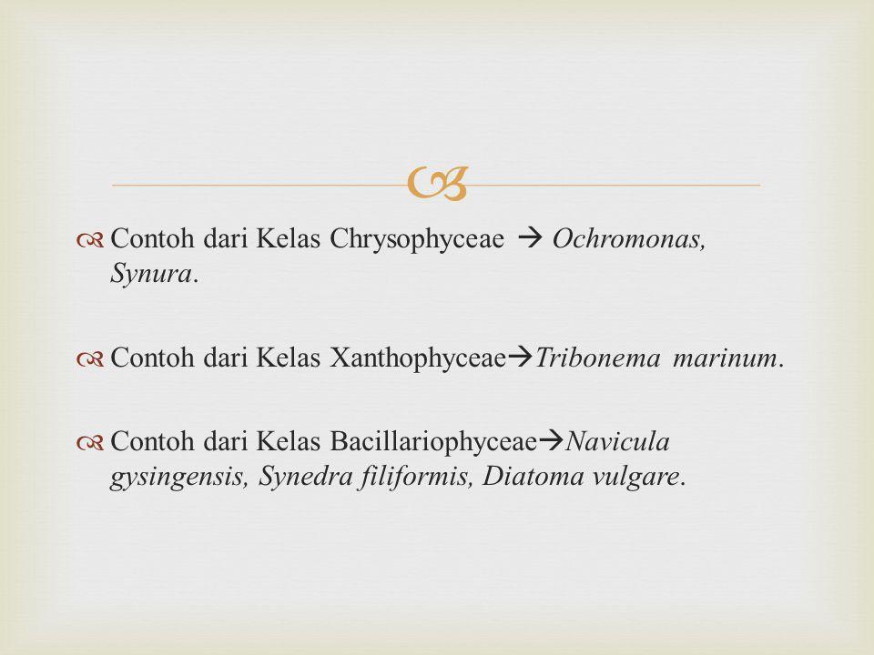   Alga ini memiliki pigmen keemasan (karoten) dan klorofil.
