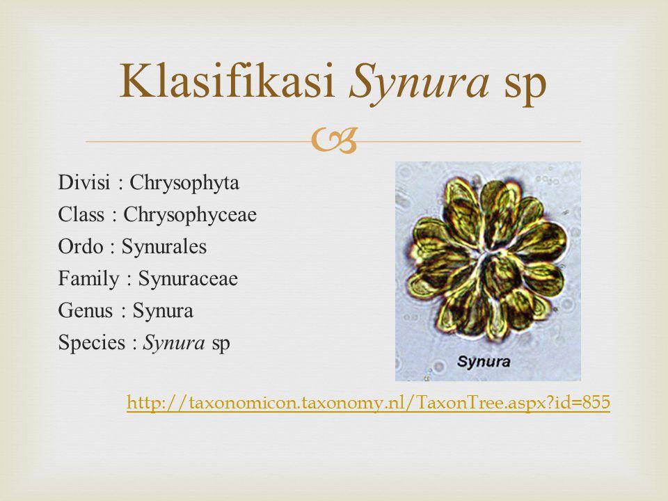  Divisi : Chrysophyta Class : Chrysophyceae Ordo : Synurales Family : Synuraceae Genus : Synura Species : Synura sp http://taxonomicon.taxonomy.nl/TaxonTree.aspx?id=855 Klasifikasi Synura sp