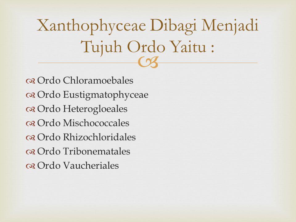   Ordo Chloramoebales  Ordo Eustigmatophyceae  Ordo Heterogloeales  Ordo Mischococcales  Ordo Rhizochloridales  Ordo Tribonematales  Ordo Vaucheriales Xanthophyceae Dibagi Menjadi Tujuh Ordo Yaitu :