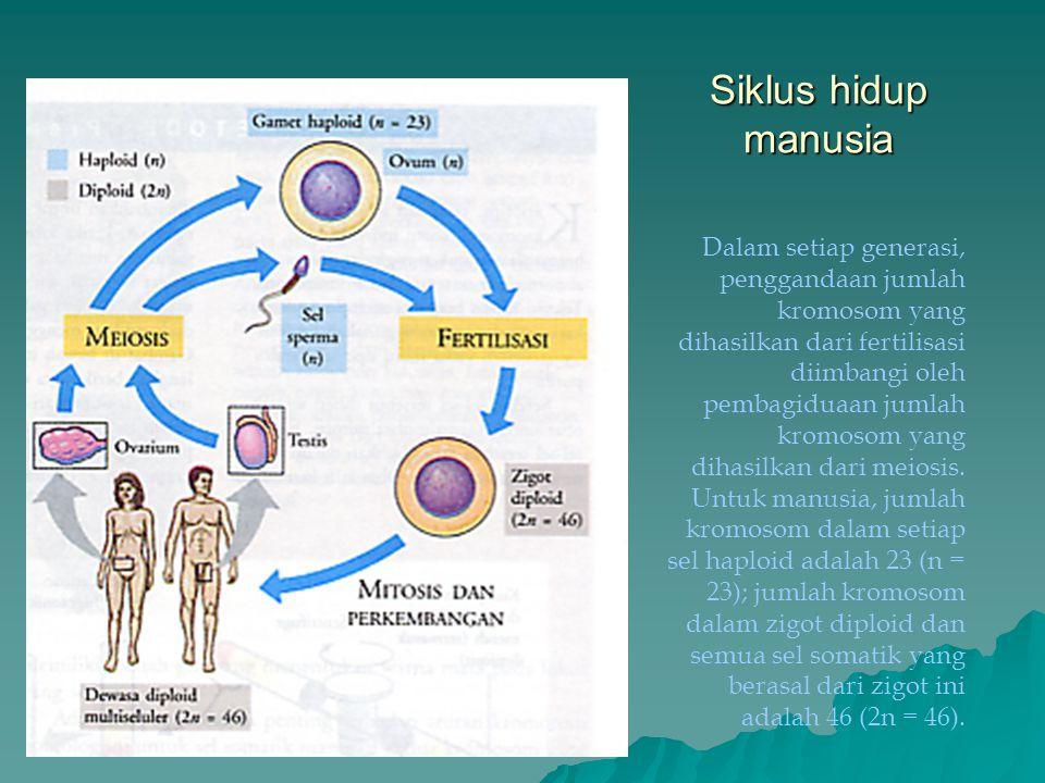 Siklus hidup manusia Dalam setiap generasi, penggandaan jumlah kromosom yang dihasilkan dari fertilisasi diimbangi oleh pembagiduaan jumlah kromosom y