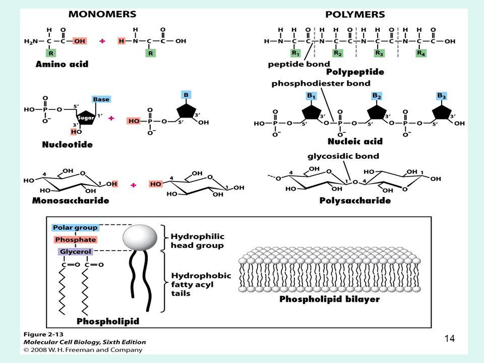 KRT-201113 Many Important Biomolecules are Polymers Biopolymers - macromolecules terbentuk melalui penggabungan beberapa molekul organik yang lebih kecil (monomers) Condensation reactions penggabungan beberapa monomer (H 2 O dihilangkan dalam proses ini) Residue - setiap monomer dalam satu rantai