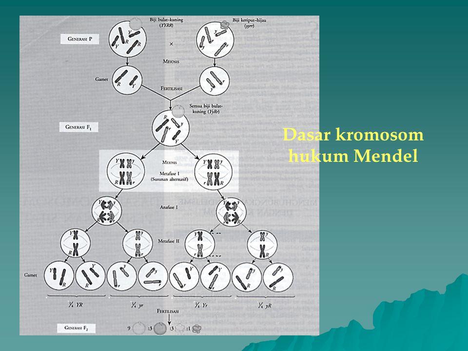 Dasar kromosom hukum Mendel