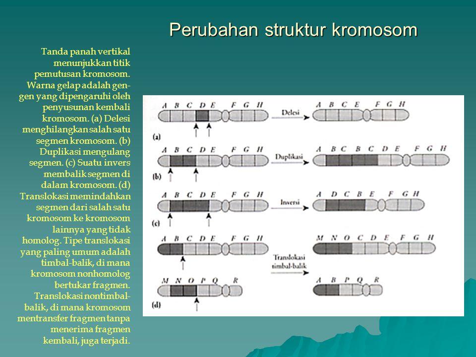 Perubahan struktur kromosom Tanda panah vertikal menunjukkan titik pemutusan kromosom. Warna gelap adalah gen- gen yang dipengaruhi oleh penyusunan ke