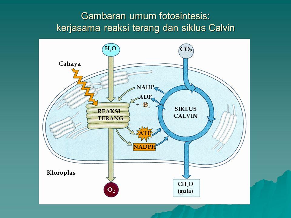 Bagaimana aliran elektron nonsiklik selama reaksi terang menghasilkan ATP dan DADPH Tanda panah menelusuri aliran elektron yang digerakkan- cahaya dari air ke NADPH.