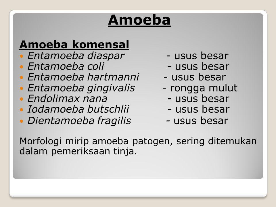 Amoeba Amoeba komensal Entamoeba diaspar - usus besar Entamoeba coli - usus besar Entamoeba hartmanni - usus besar Entamoeba gingivalis - rongga mulut Endolimax nana - usus besar Iodamoeba butschlii - usus besar Dientamoeba fragilis - usus besar Morfologi mirip amoeba patogen, sering ditemukan dalam pemeriksaan tinja.