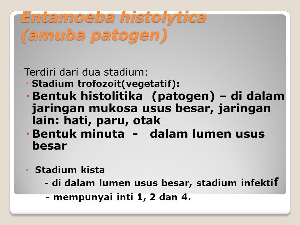 Entamoeba histolytica (amuba patogen) ◦Terdiri dari dua stadium:  Stadium trofozoit(vegetatif):  Bentuk histolitika (patogen) – di dalam jaringan mukosa usus besar, jaringan lain: hati, paru, otak  Bentuk minuta - dalam lumen usus besar  Stadium kista - di dalam lumen usus besar, stadium infekti f - mempunyai inti 1, 2 dan 4.