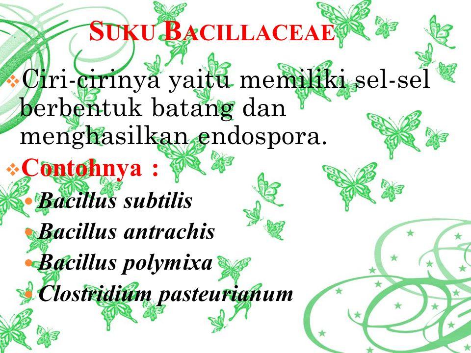 S UKU B ACILLACEAE  Ciri-cirinya yaitu memiliki sel-sel berbentuk batang dan menghasilkan endospora.
