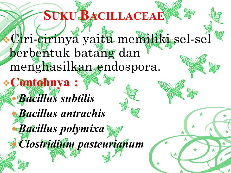 S UKU B ACILLACEAE  Ciri-cirinya yaitu memiliki sel-sel berbentuk batang dan menghasilkan endospora.  Contohnya : Bacillus subtilis Bacillus antrach