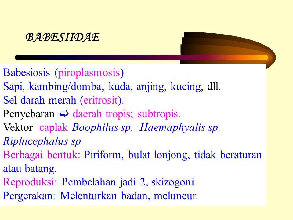 BABESIIDAE Babesiosis (piroplasmosis) Sapi, kambing/domba, kuda, anjing, kucing, dll. Sel darah merah (eritrosit). Penyebaran  daerah tropis; subtrop