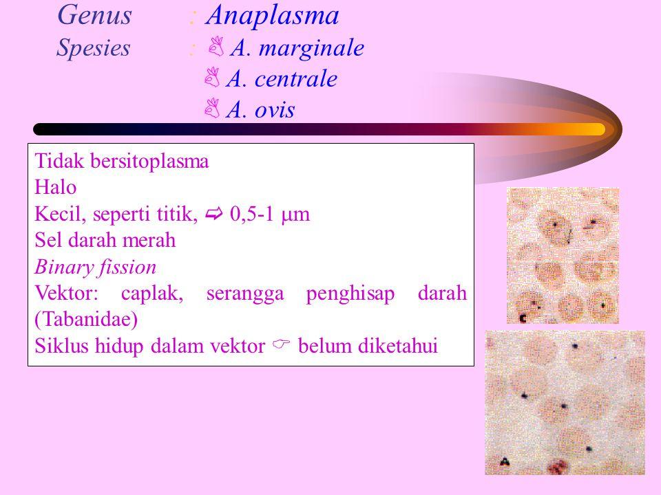 Genus: Anaplasma Spesies:  A. marginale  A. centrale  A. ovis Tidak bersitoplasma Halo Kecil, seperti titik,  0,5-1  m Sel darah merah Binary fis