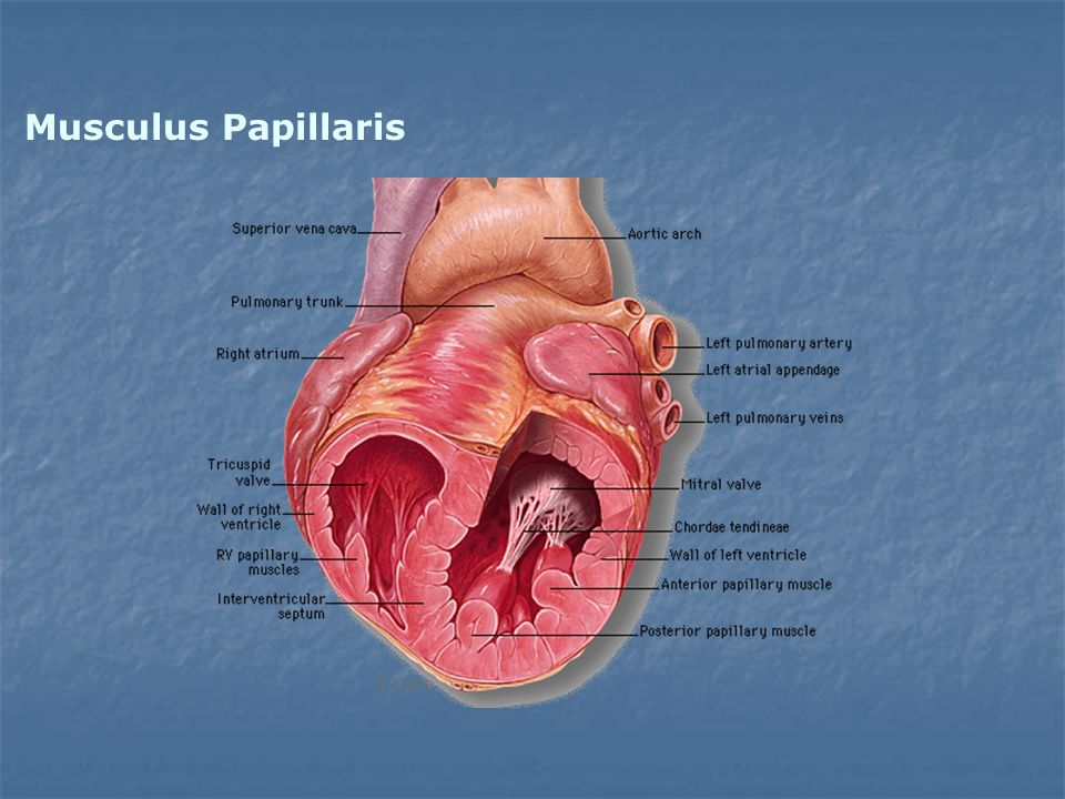 Musculus Papillaris