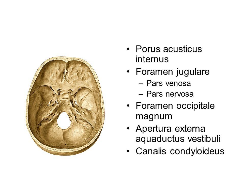 Porus acusticus internus Foramen jugulare –Pars venosa –Pars nervosa Foramen occipitale magnum Apertura externa aquaductus vestibuli Canalis condyloid
