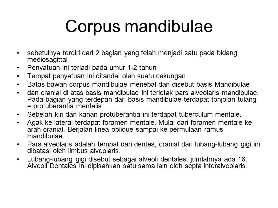 Corpus mandibulae sebetulnya terdiri dari 2 bagian yang telah menjadi satu pada bidang mediosagittal Penyatuan ini terjadi pada umur 1-2 tahun Tempat