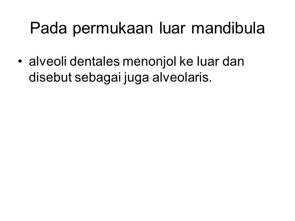 Pada permukaan luar mandibula alveoli dentales menonjol ke luar dan disebut sebagai juga alveolaris.