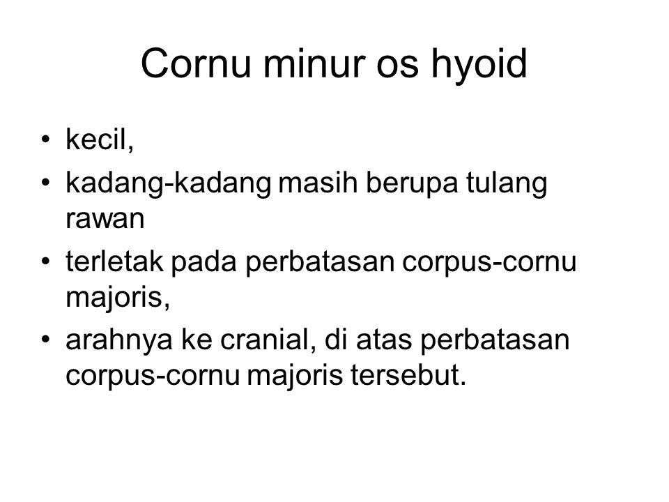 Cornu minur os hyoid kecil, kadang-kadang masih berupa tulang rawan terletak pada perbatasan corpus-cornu majoris, arahnya ke cranial, di atas perbata
