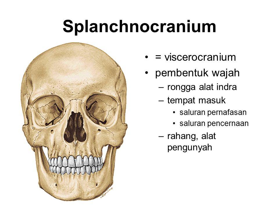 Splanchnocranium = viscerocranium pembentuk wajah –rongga alat indra –tempat masuk saluran pernafasan saluran pencernaan –rahang, alat pengunyah