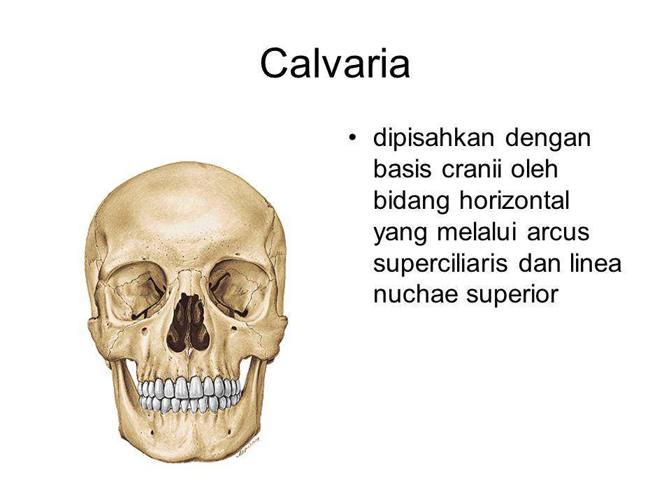 Calvaria dipisahkan dengan basis cranii oleh bidang horizontal yang melalui arcus superciliaris dan linea nuchae superior