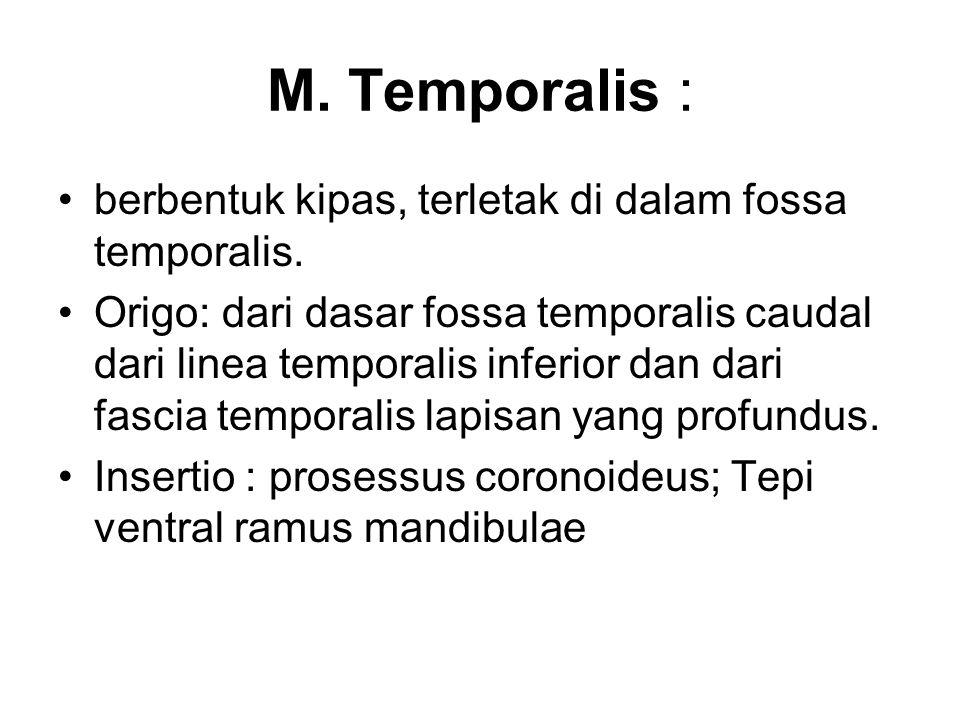 M. Temporalis : berbentuk kipas, terletak di dalam fossa temporalis. Origo: dari dasar fossa temporalis caudal dari linea temporalis inferior dan dari