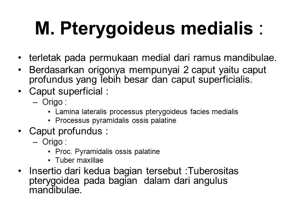 M. Pterygoideus medialis : terletak pada permukaan medial dari ramus mandibulae. Berdasarkan origonya mempunyai 2 caput yaitu caput profundus yang leb