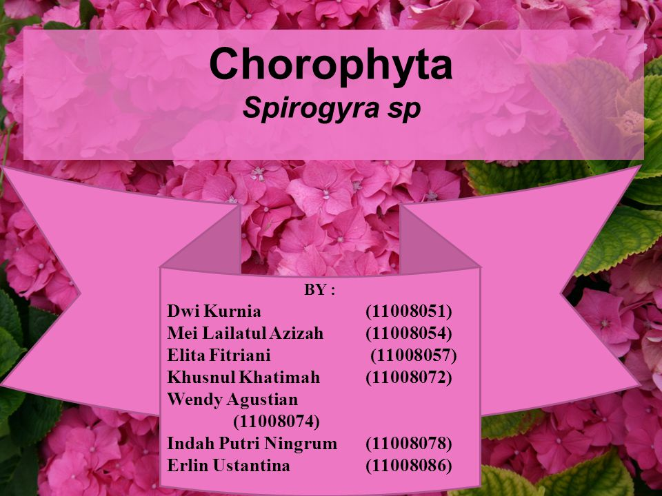 Chorophyta Spirogyra sp BY : Dwi Kurnia (11008051) Mei Lailatul Azizah (11008054) Elita Fitriani (11008057) Khusnul Khatimah (11008072) Wendy Agustian (11008074) Indah Putri Ningrum (11008078) Erlin Ustantina (11008086)
