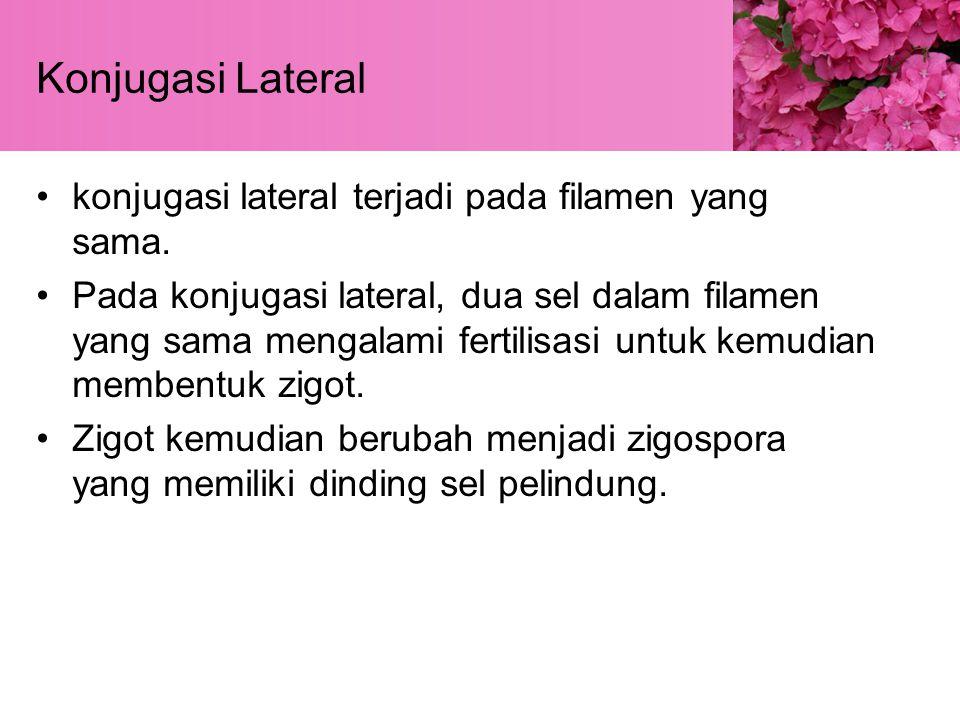 Konjugasi Lateral konjugasi lateral terjadi pada filamen yang sama.