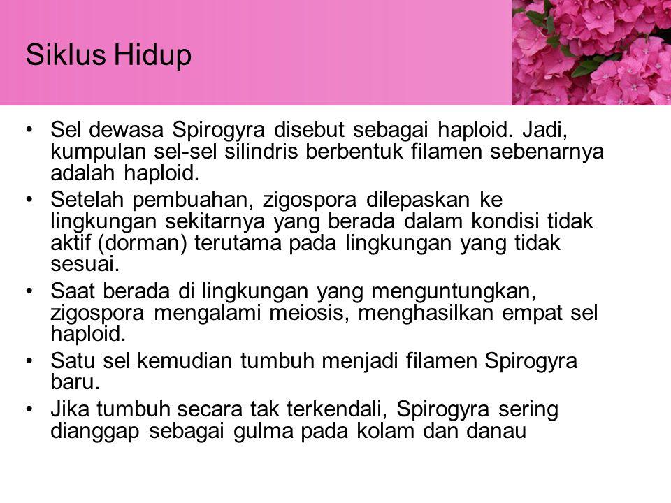 Siklus Hidup Sel dewasa Spirogyra disebut sebagai haploid.