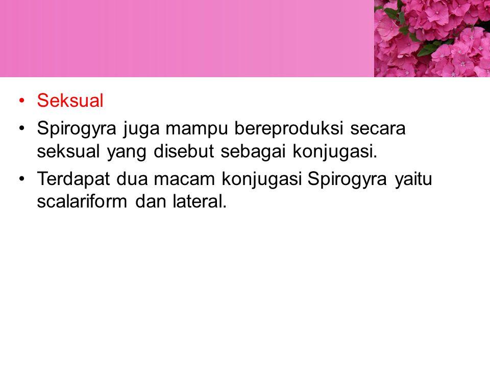 Seksual Spirogyra juga mampu bereproduksi secara seksual yang disebut sebagai konjugasi.