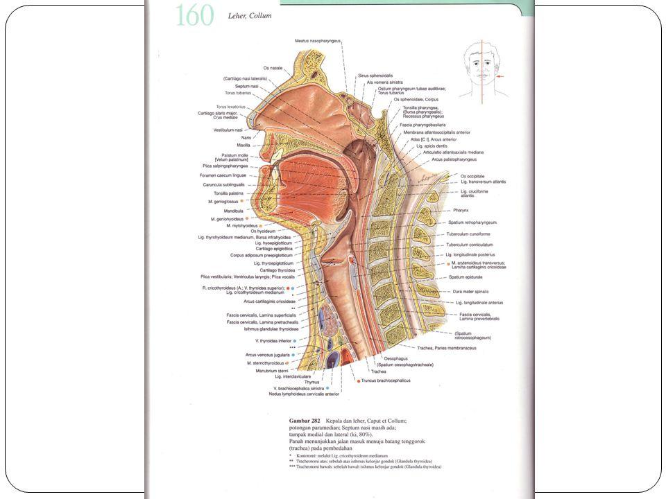 laring žDisebut juga kotak suara žLetak : vertebra cervikalis 4 dan 6 žBagian posterior dari laring : esofagus žMembatasi saluran nafas bagian atas dan bawah žDiatas laring terdapat epiglotis yang akan menutup pada proses menelan žMendapat suply darah dari arteri tiroid žBagian internal terdiri dari lapisan otot