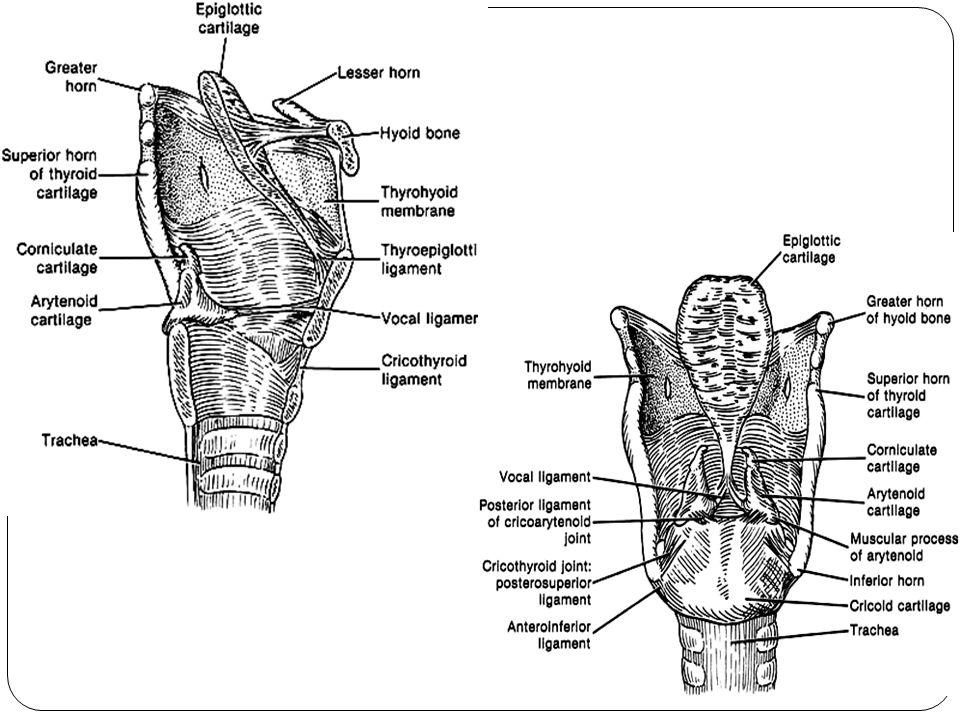 LIGAMENTUM DAN MEMBRANA Ligamentum dan membran laring terbagi atas 2 grup, yaitu 1.