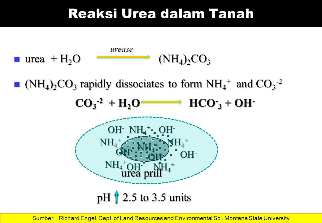 urea + H 2 O (NH 4 ) 2 CO 3 urea + H 2 O (NH 4 ) 2 CO 3 (NH 4 ) 2 CO 3 rapidly dissociates to form NH 4 + and CO 3 -2 (NH 4 ) 2 CO 3 rapidly dissociates to form NH 4 + and CO 3 -2 Reaksi Urea dalam Tanah pH 2.5 to 3.5 units urea prill urease NH 4 + OH - NH 4 + OH - NH 4 + OH - NH 4 + OH - NH 4 + OH - NH 4 + OH - CO 3 -2 + H 2 O HCO - 3 + OH - Sumber: Richard Engel, Dept.