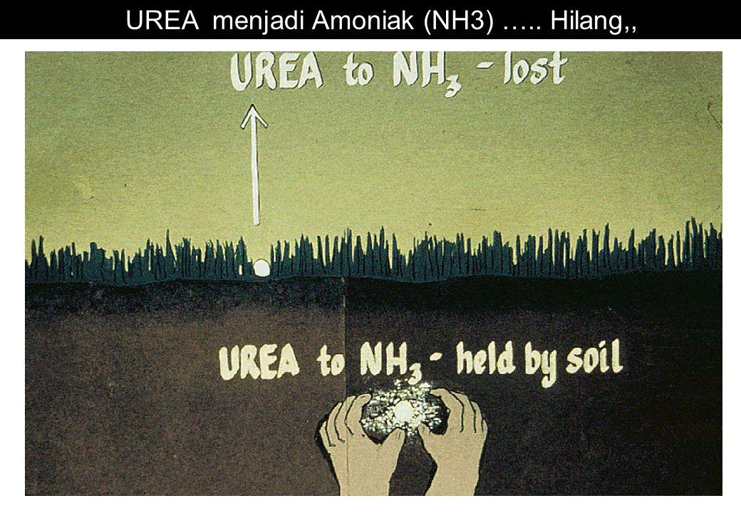 UREA menjadi Amoniak (NH3) ….. Hilang,,