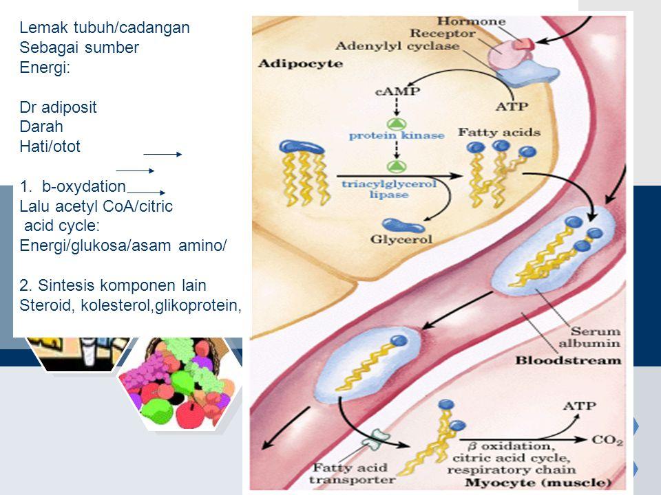 Lemak tubuh/cadangan Sebagai sumber Energi: Dr adiposit Darah Hati/otot 1. b-oxydation Lalu acetyl CoA/citric acid cycle: Energi/glukosa/asam amino/ 2