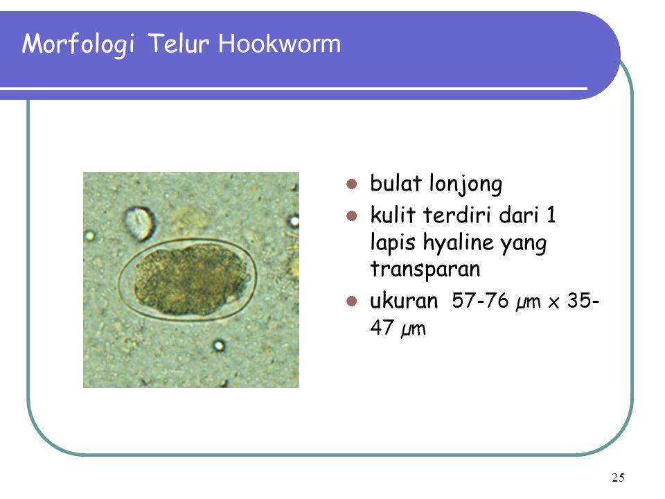 Morfologi Telur Hookworm bulat lonjong kulit terdiri dari 1 lapis hyaline yang transparan ukuran 57-76 µm x 35- 47 µm 25