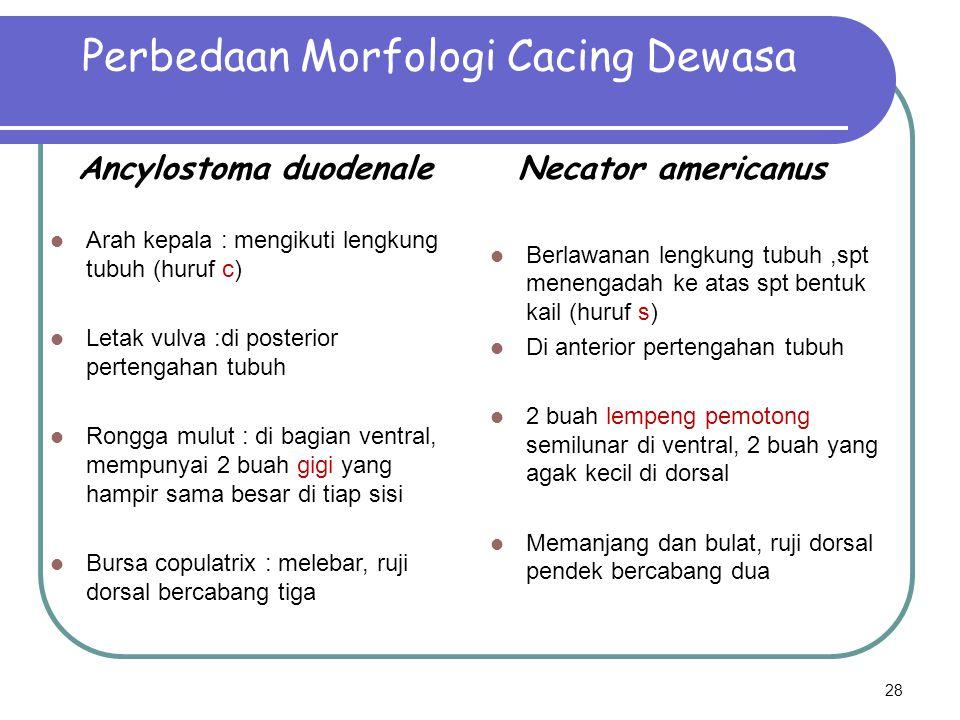 Perbedaan Morfologi Cacing Dewasa Ancylostoma duodenale Arah kepala : mengikuti lengkung tubuh (huruf c) Letak vulva :di posterior pertengahan tubuh R