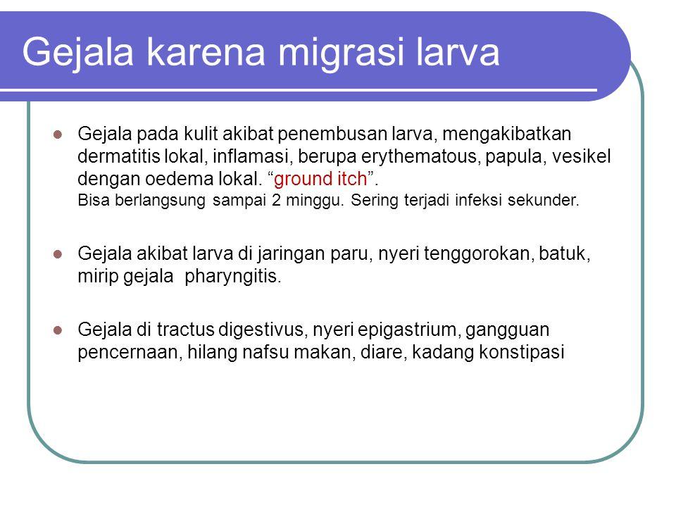 Gejala karena migrasi larva Gejala pada kulit akibat penembusan larva, mengakibatkan dermatitis lokal, inflamasi, berupa erythematous, papula, vesikel