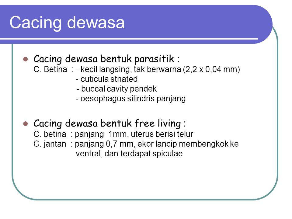 Cacing dewasa Cacing dewasa bentuk parasitik : C. Betina : - kecil langsing, tak berwarna (2,2 x 0,04 mm) - cuticula striated - buccal cavity pendek -