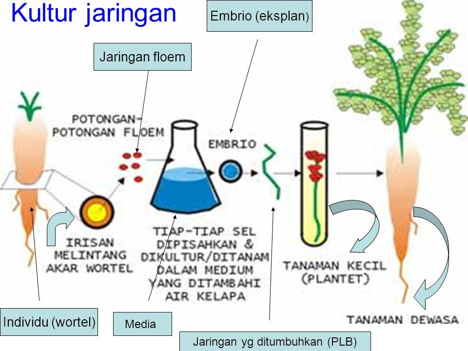 Kultur jaringan Individu (wortel) Jaringan floem Media Embrio (eksplan ) Jaringan yg ditumbuhkan (PLB)