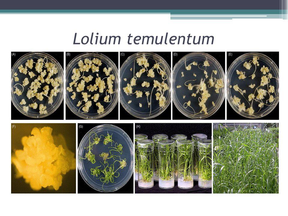 Lolium temulentum