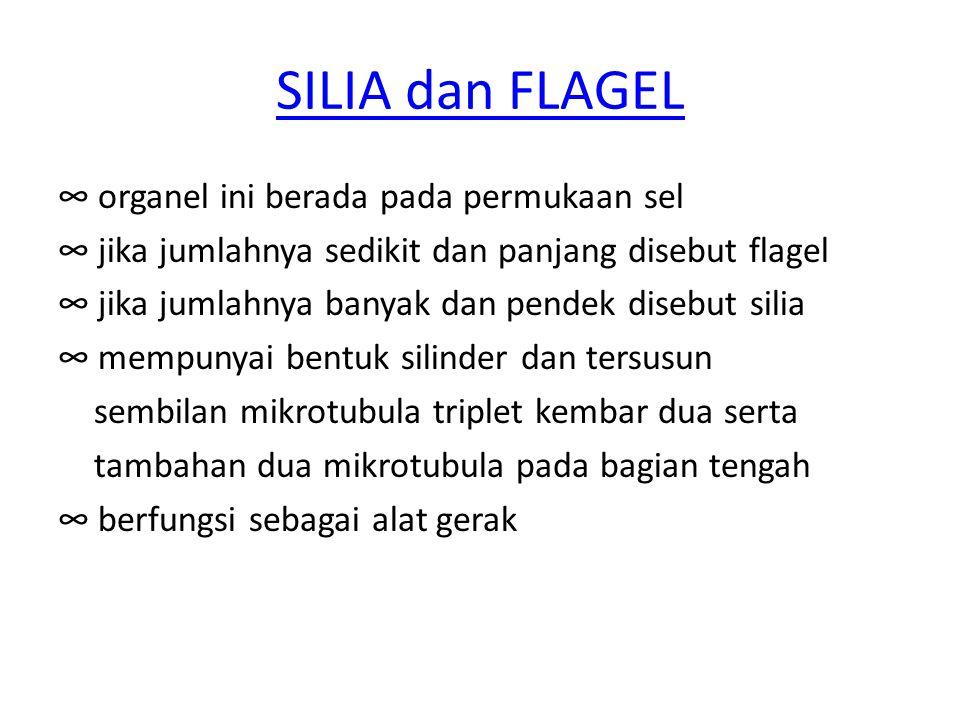 SILIA dan FLAGEL ∞ organel ini berada pada permukaan sel ∞ jika jumlahnya sedikit dan panjang disebut flagel ∞ jika jumlahnya banyak dan pendek disebu