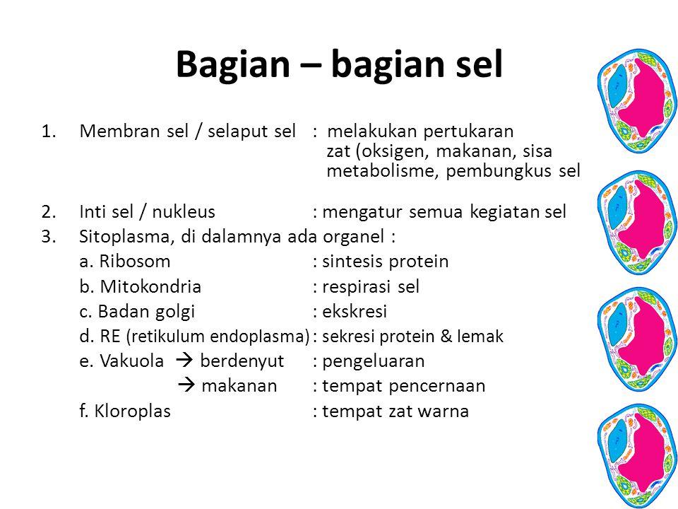 Bagian – bagian sel 1.Membran sel / selaput sel: melakukan pertukaran zat (oksigen, makanan, sisa metabolisme, pembungkus sel 2.Inti sel / nukleus: me