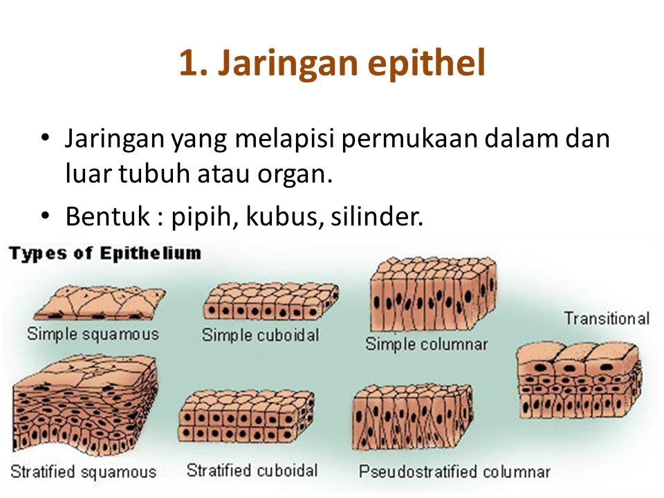 1. Jaringan epithel Jaringan yang melapisi permukaan dalam dan luar tubuh atau organ. Bentuk : pipih, kubus, silinder.