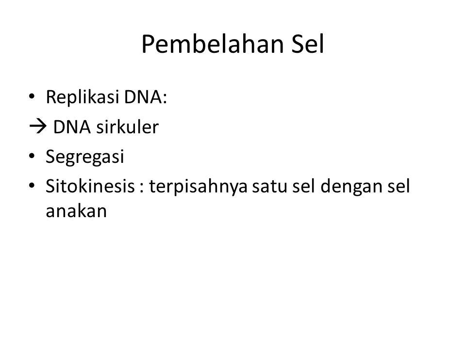 Pembelahan Sel Replikasi DNA:  DNA sirkuler Segregasi Sitokinesis : terpisahnya satu sel dengan sel anakan