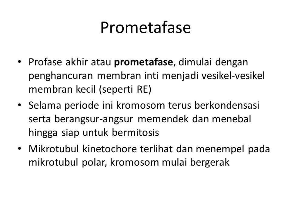 Prometafase Profase akhir atau prometafase, dimulai dengan penghancuran membran inti menjadi vesikel-vesikel membran kecil (seperti RE) Selama periode